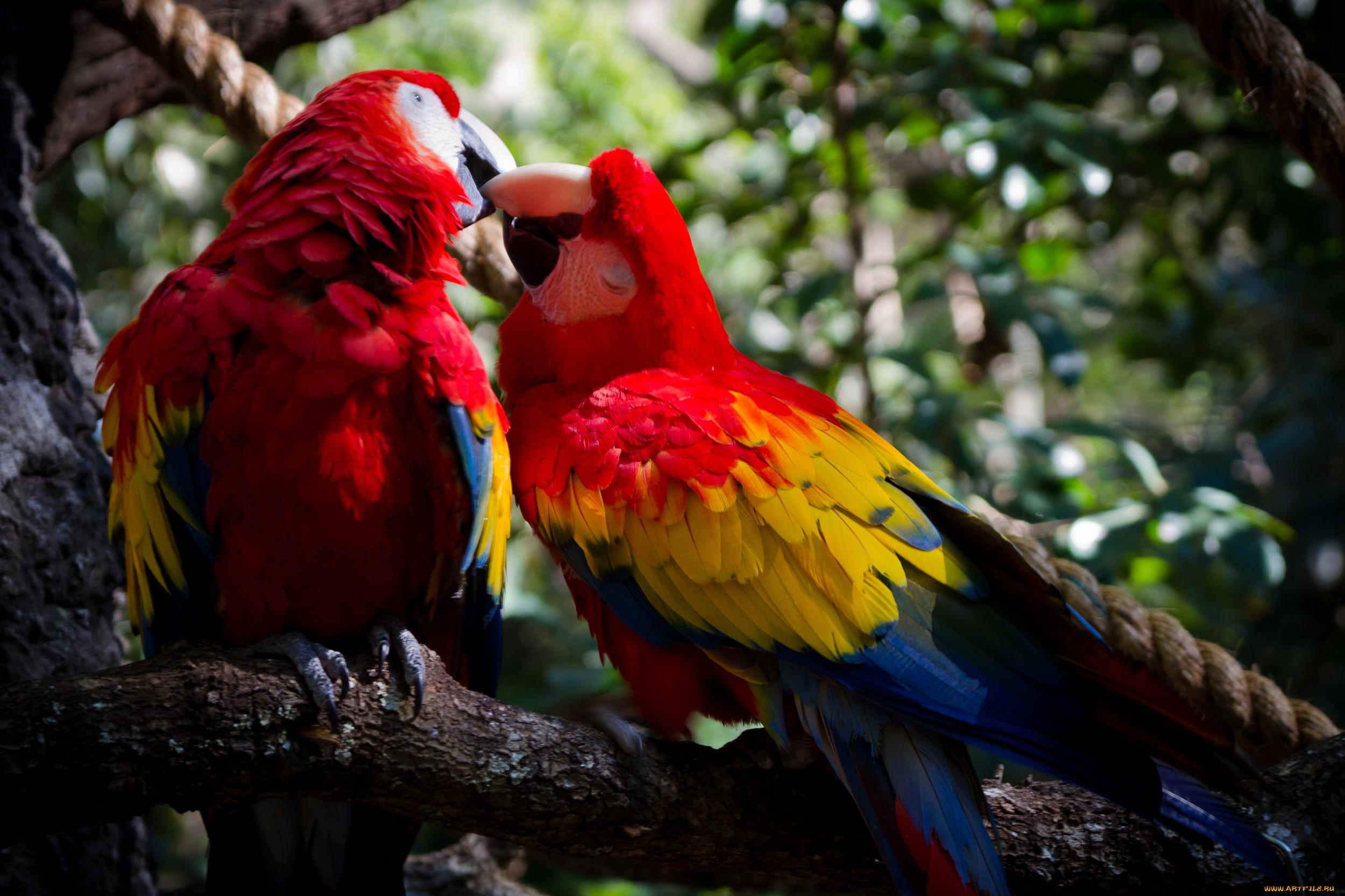 театре попугаи целуются картинки желаю